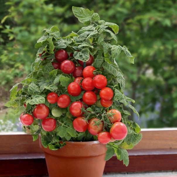 ТОМАТЫ НА ПОДОКОННИКЕ Для выращивания помидоров на подоконнике, в силу его малогабаритности, подойдут низкорослые или карликовые сорта, такие как- Дубок,Маленькая флорида,Балконное чудо,Минибел.