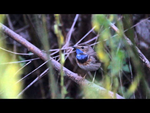 Dienvidu zilrīklītes (Luscinia svecica cyanecula) dziesma