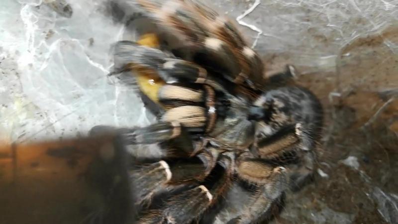 Кормление Ceratogyrus sanderi