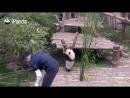 你无法抵挡的抱腿兽又上线啦-Panda wants a hug from nanny, but nanny is working[超清版]