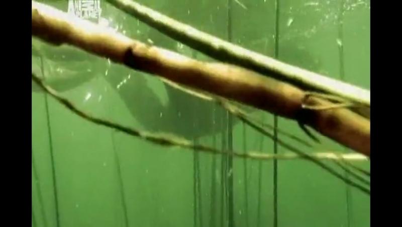 Необычные животные Ника Бейкера _ Морщинистая лягушка (Титикакский свистун)