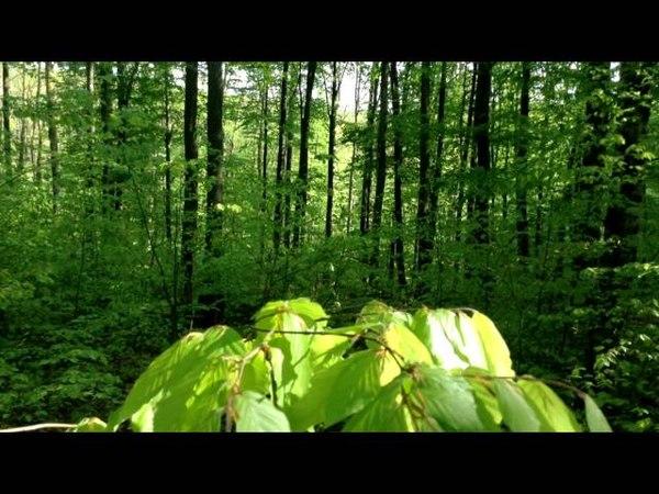 🎧 Слушать тишину Звуки живого леса Здоровый сон