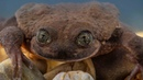 Romeo the endangered water frog may have found his Juliet