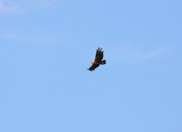 Степной орел над степью