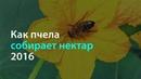 Как пчела собирает нектар