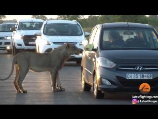 Lion Versus Car's Door