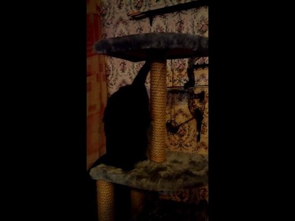Маленький фильм о счастливой кошечке Мейн куне. A little film about happy kitty Maine Coon