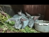 Крольчата породы Советская Шиншилла
