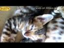 Будни питомника бенгальской кошки Dakota Gold - спящий котенок, октябрь 2017