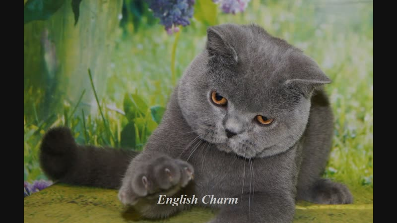 Available for show and breeding british shorthair male blue a 10 months name Dandy English Charm Blood Ab
