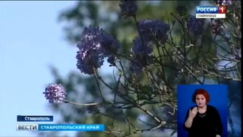Предвестники весны зацвели в октябре на Ставрополье