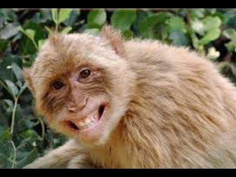Tarik maang monyet ini LUCU gaya valentino rossi