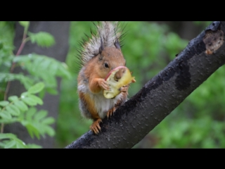 Белка ест кусочек яблока.07.06.18.