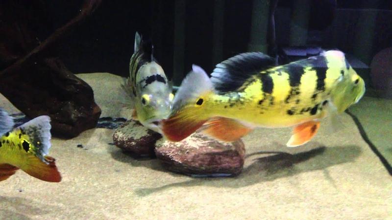 Peacock Bass Cichla Monoculus Spawning