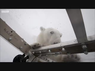 Wild polar bear tries to break in _ bbc