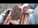 Пчеловодство. ЗАМЕНА МАТКИ В НОЯБРЕ 1-2