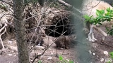 Toronto Zoo Arctic Wolf Pups Spotted!