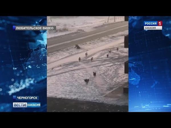В городе Черногорске нашествие бродячих собак. 15.01.2019