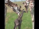 A newborn baby giraffe born at wildlife in Cumberland, Ohio, was caught on camera attempting to take its first steps.