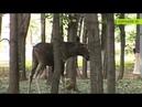 Почти сутки по улицам Королёва гулял лось как животное смогли вернуть в заповедник