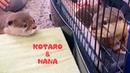 カワウソコタローとハナ ついにご対面!初めての出会い Otter KotaroHana Meet For The Firs
