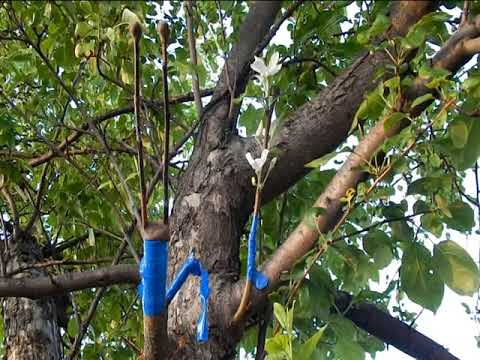 Одна из трёх привилась к сороколетней яблоне в росщип