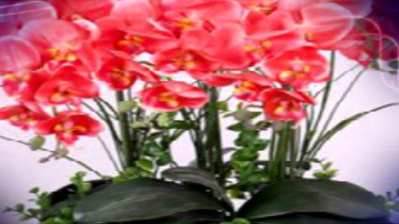 Поливая так, орхидея зацветет за 10 дней mosshow