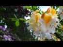 Рододендроны выбор сорта