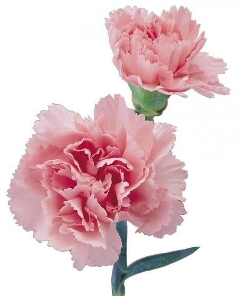 гвоздики розовые фото