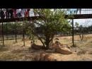 Львы в качестве зрителей на фото сессии в Саванне Тайган Крым