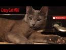 Кошка играет сама с собой .смешные животные видео
