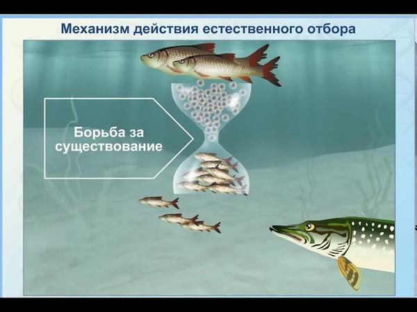 Механизм действия естественного отбора