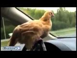 Что за курица за рулем Юмор! Прикол! Смех