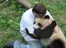 Китайские учёные наймут обнимателя панд с зарплатой 32 тысячи долларов в год. Вот она…