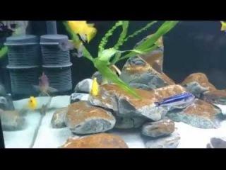 Наш аквариум с цихлидами Малави. ч.1