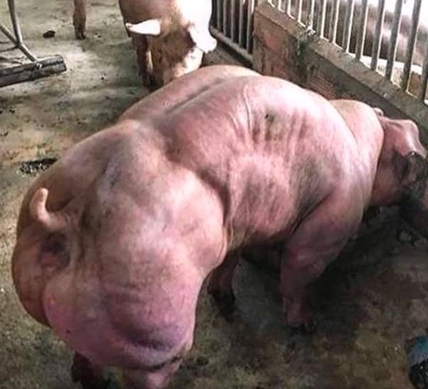 Камбоджийский заводчик торгует на Facebook спермой мускулистых свиней-мутантов
