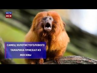 В Новосибирский зоопарк доставили серебристых игрунок и золотистоголового тамарина