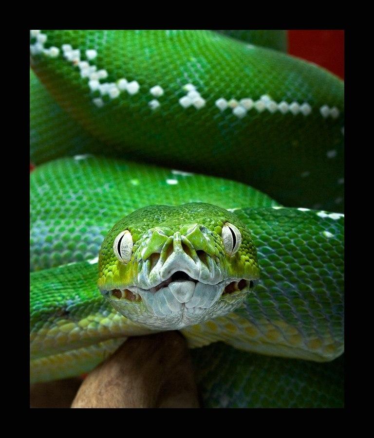 Morelia viridis и термоямки