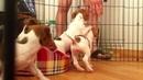 Джек Рассел Терьер (щенкам 2,5 месяца)