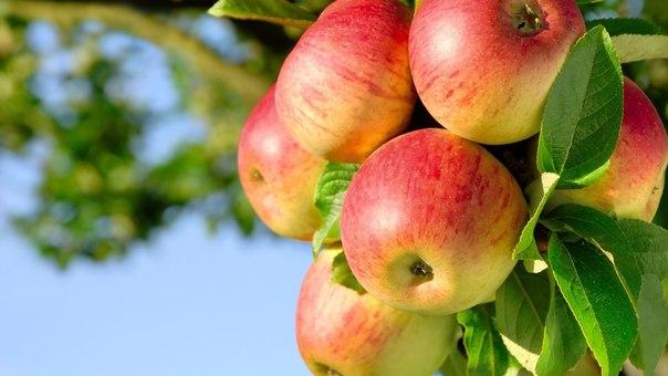 Яблоки способствуют долголетию (1 фото) - картинка