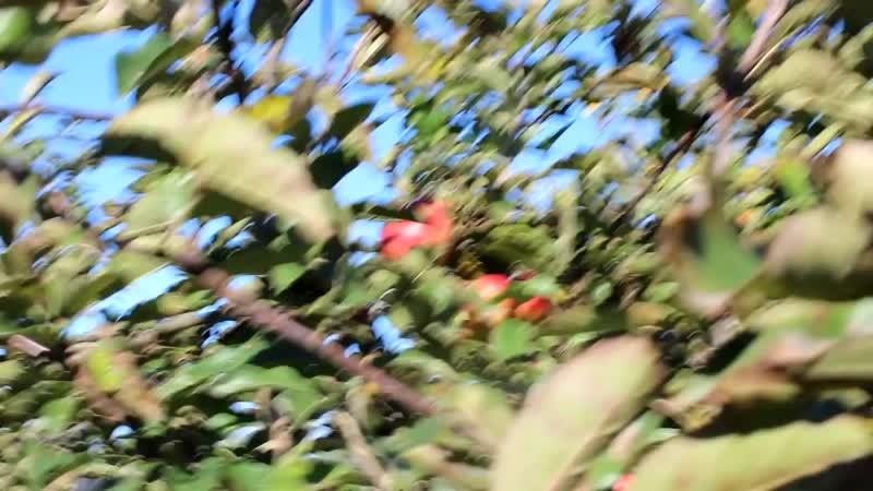Напитки из яблок. Часть 3. Бренди, Водка, Настойка