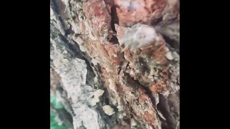 Жучок под корой сосны