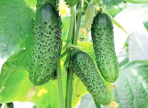 Для получения высоких урожаев плодов огурцов в парнике нужно соблюдать следующие условия: