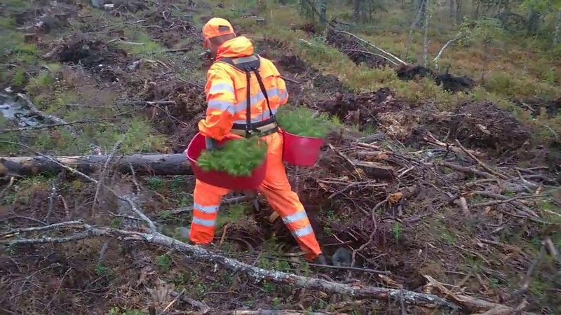 Planting trees in Sweden After rain