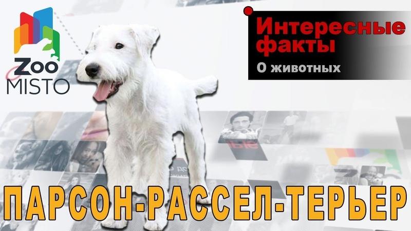 Парсон-рассел-терьер - Интересные факты о породе | Собака породы парсон-рассел-терьер