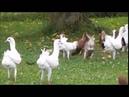 Bunlar Güvercin mi Tavuk mu Belli Değil