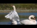 Любовь и верность. Красивое видео. Лебединая верность ( 360 X 640 ).mp4