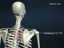Большая ромбовидная анатомия онлайн