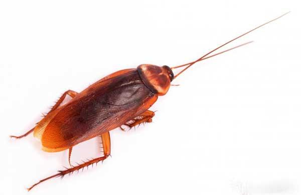 Дезинсектор может работать для уничтожения вредителей, таких как тараканы