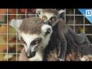 Лемуры родились в Московском зоопарке